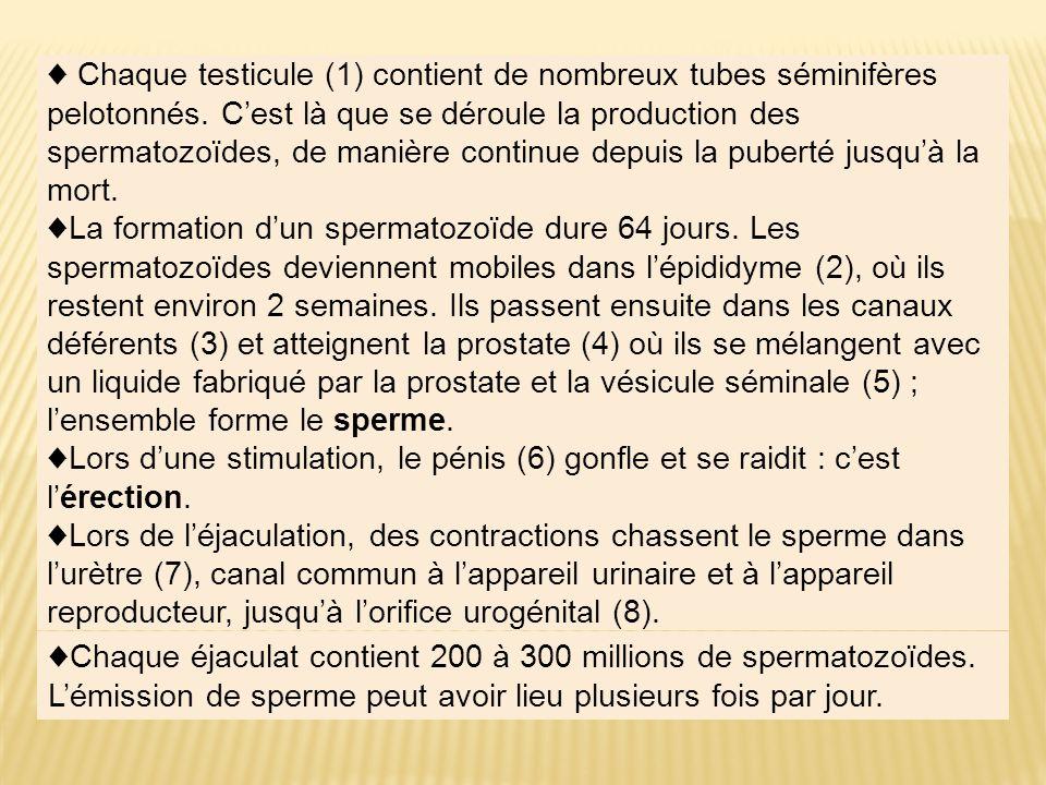 Chaque testicule (1) contient de nombreux tubes séminifères pelotonnés. Cest là que se déroule la production des spermatozoïdes, de manière continue d