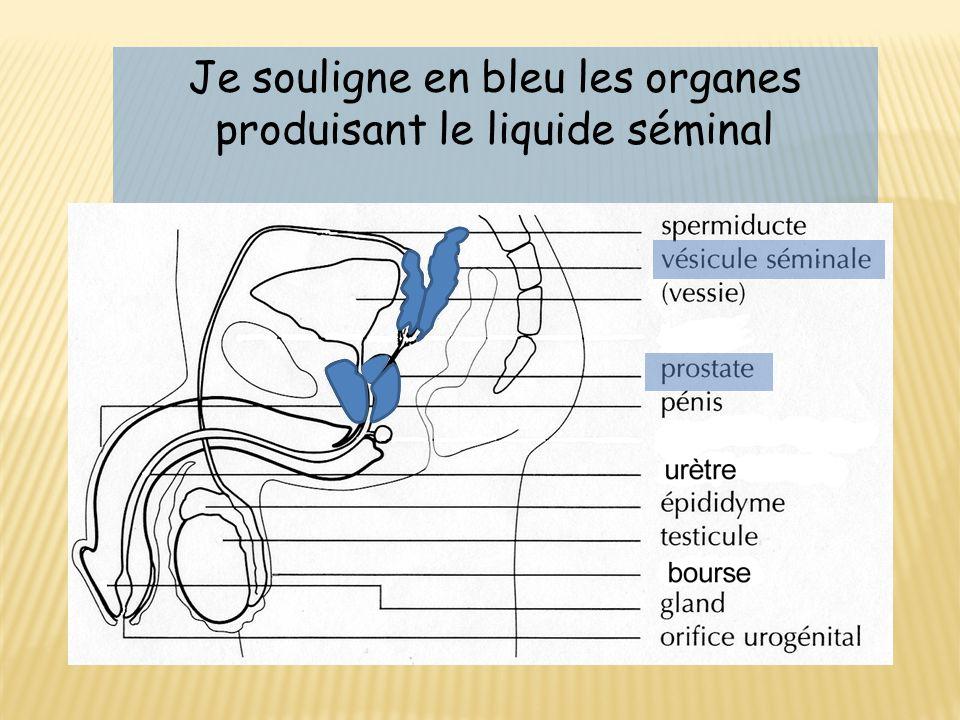 Je souligne en bleu les organes produisant le liquide séminal