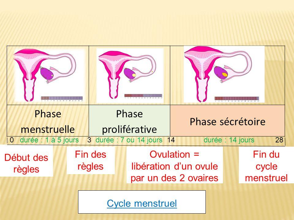 Phase menstruelle Phase proliférative Phase sécrétoire Début des règles Fin des règles Ovulation = libération dun ovule par un des 2 ovaires Fin du cycle menstruel Cycle menstruel 0 durée : 1 à 5 jours 3 durée : 7 ou 14 jours 14 durée : 14 jours 28