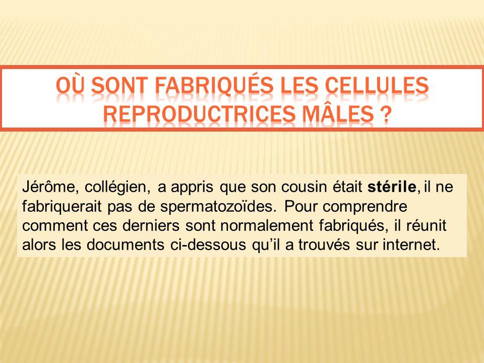 Jérôme, collégien, a appris que son cousin était stérile, il ne fabriquerait pas de spermatozoïdes. Pour comprendre comment ces derniers sont normalem