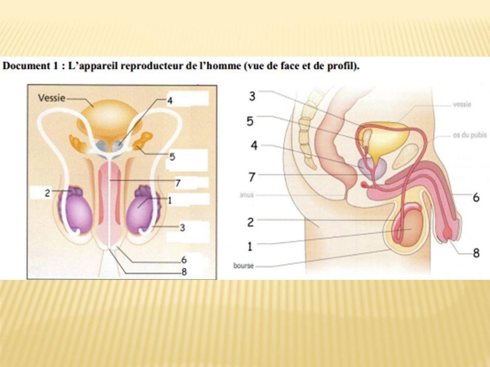 Doù le sperme provient- il?