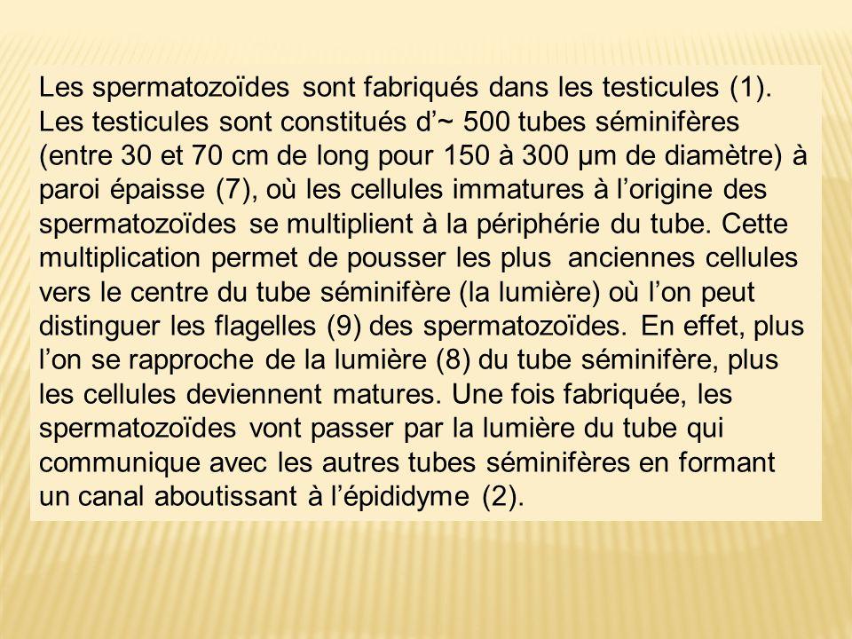 Les spermatozoïdes sont fabriqués dans les testicules (1). Les testicules sont constitués d~ 500 tubes séminifères (entre 30 et 70 cm de long pour 150