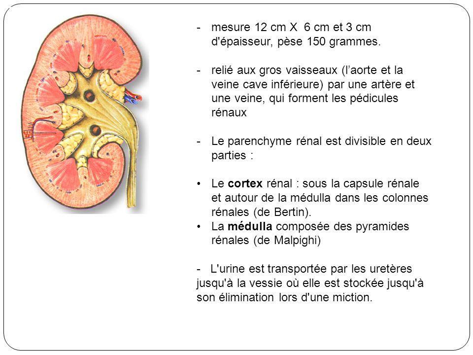 -mesure 12 cm X 6 cm et 3 cm d'épaisseur, pèse 150 grammes. -relié aux gros vaisseaux (laorte et la veine cave inférieure) par une artère et une veine