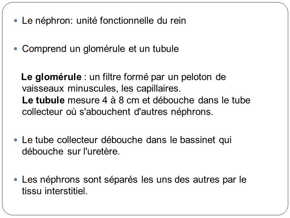 Le néphron: unité fonctionnelle du rein Comprend un glomérule et un tubule Le glomérule : un filtre formé par un peloton de vaisseaux minuscules, les