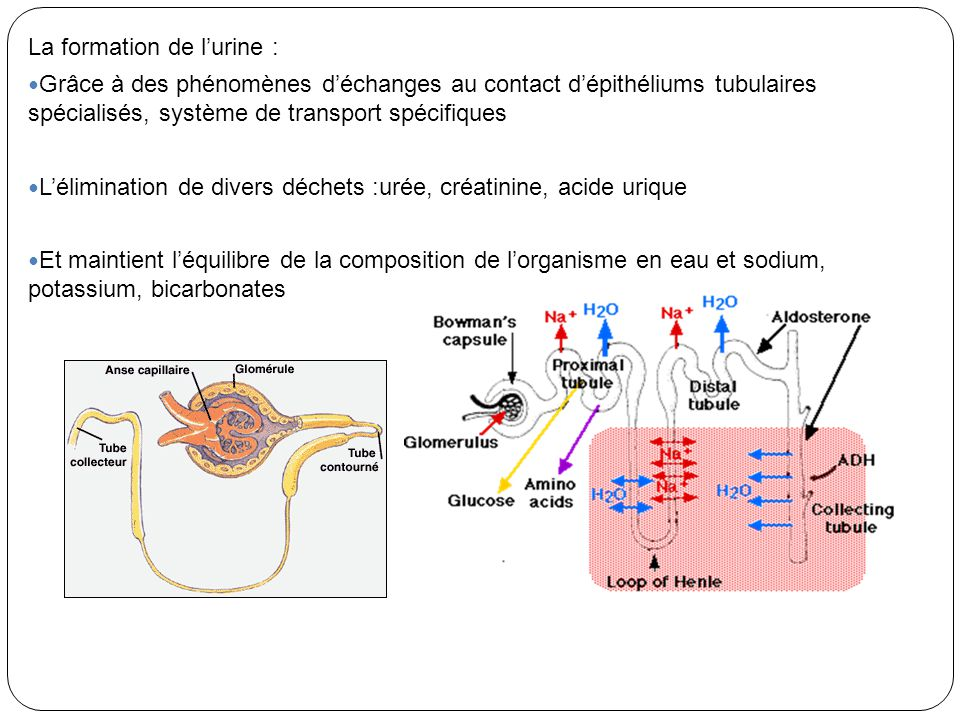 La formation de lurine : Grâce à des phénomènes déchanges au contact dépithéliums tubulaires spécialisés, système de transport spécifiques Léliminatio