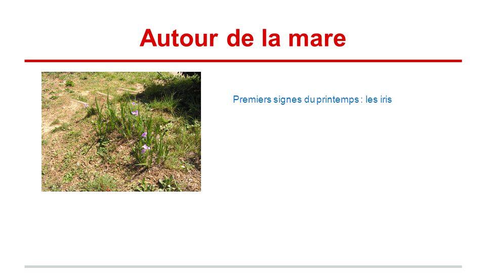 Autour de la mare Premiers signes du printemps : les iris