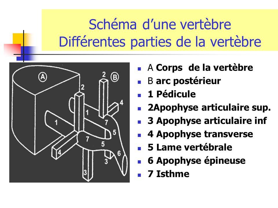 Composition et décomposition du rachis 3 segments: Cervical Dorsal lombaire