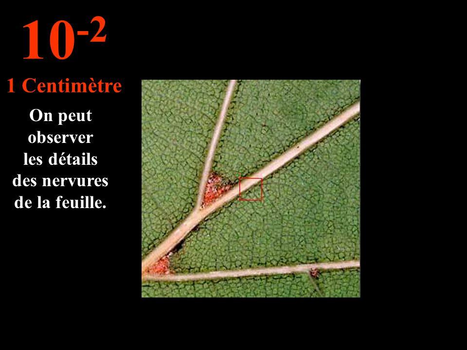 On peut observer les détails des nervures de la feuille. 10 -2 1 Centimètre