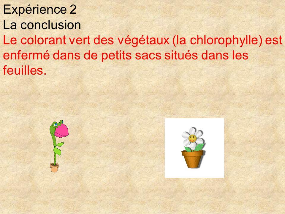 Expérience 2 La conclusion Le colorant vert des végétaux (la chlorophylle) est enfermé dans de petits sacs situés dans les feuilles.