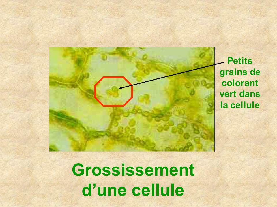 Grossissement dune cellule Petits grains de colorant vert dans la cellule