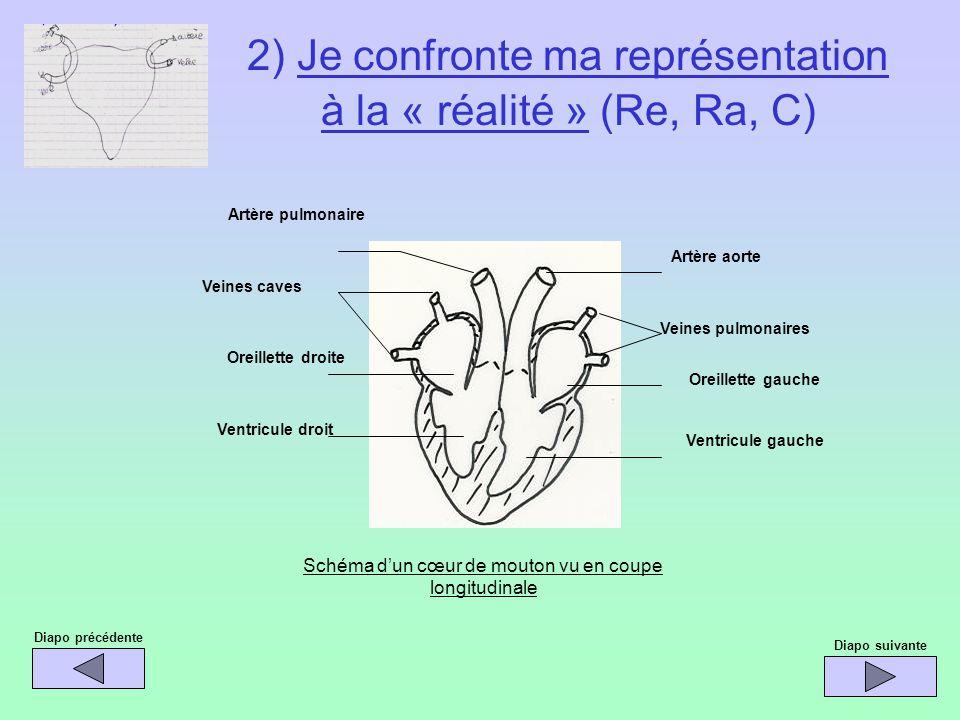 Schéma dun cœur de mouton vu en coupe longitudinale Artère aorte Veines pulmonaires Oreillette gauche Ventricule gauche Ventricule droit Oreillette dr