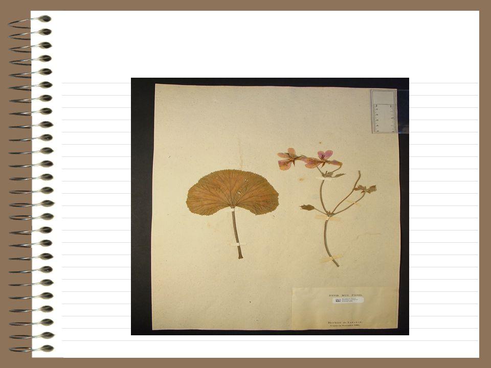 Note de Lamarck: géranium cullatum vo tundifolium.