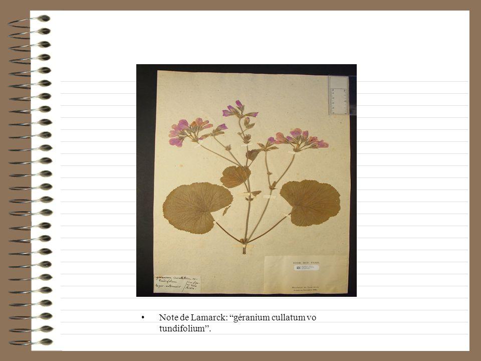 Note de Lamarck: La fleur lorsquelle est périe lon peut lallumer alors comme une bougie et elle exhale une odeur dencens très agréable.