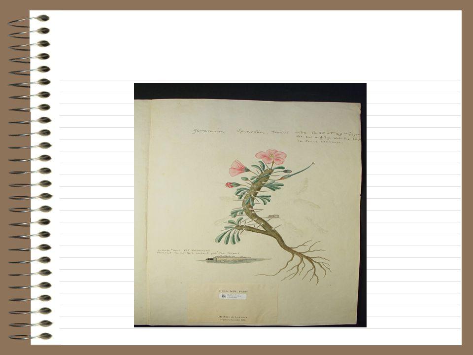 Note de Lamarck: geranium spinosum