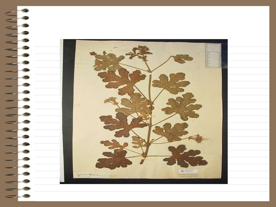 Note de Lamarck: géranium bicolor jacq.