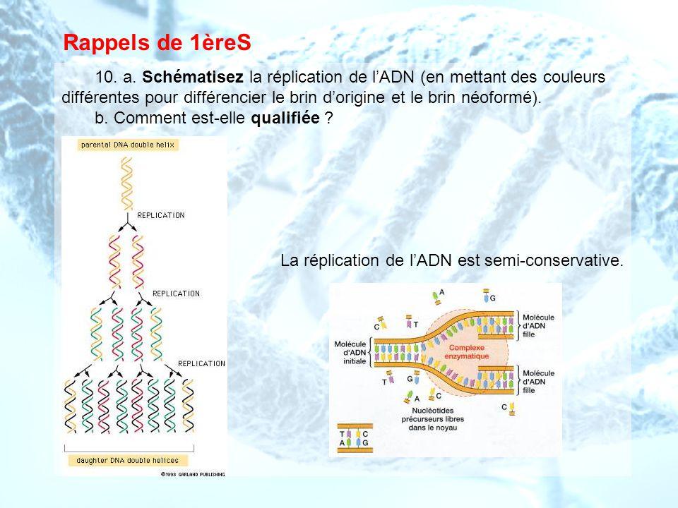 Rappels de 1èreS 10. a. Schématisez la réplication de lADN (en mettant des couleurs différentes pour différencier le brin dorigine et le brin néoformé
