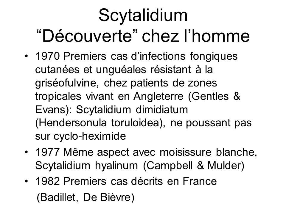 Scytalidium Découverte chez lhomme 1970 Premiers cas dinfections fongiques cutanées et unguéales résistant à la griséofulvine, chez patients de zones