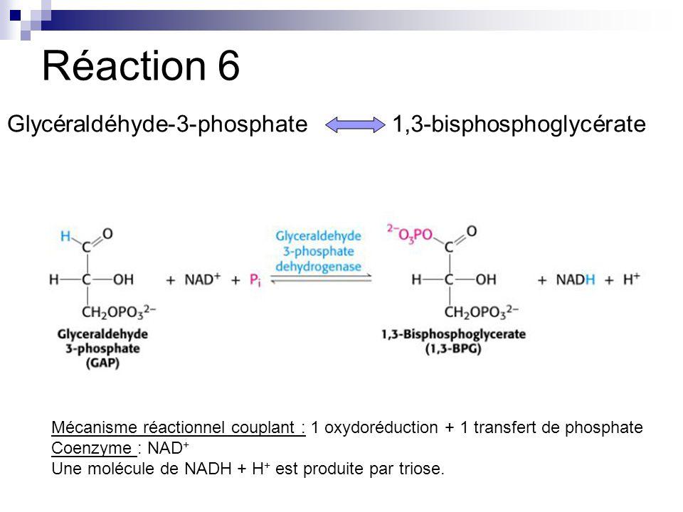 Réaction 6 Glycéraldéhyde-3-phosphate1,3-bisphosphoglycérate Mécanisme réactionnel couplant : 1 oxydoréduction + 1 transfert de phosphate Coenzyme : NAD + Une molécule de NADH + H + est produite par triose.