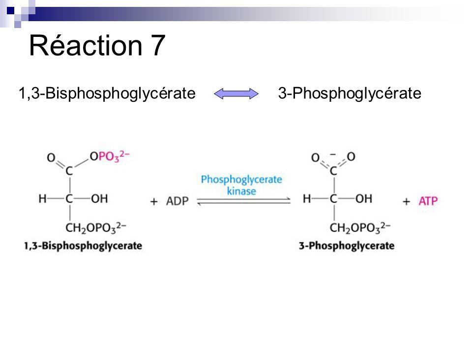 Réaction 7 1,3-Bisphosphoglycérate3-Phosphoglycérate