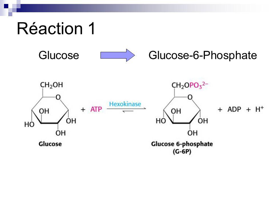 Réaction 1 GlucoseGlucose-6-Phosphate