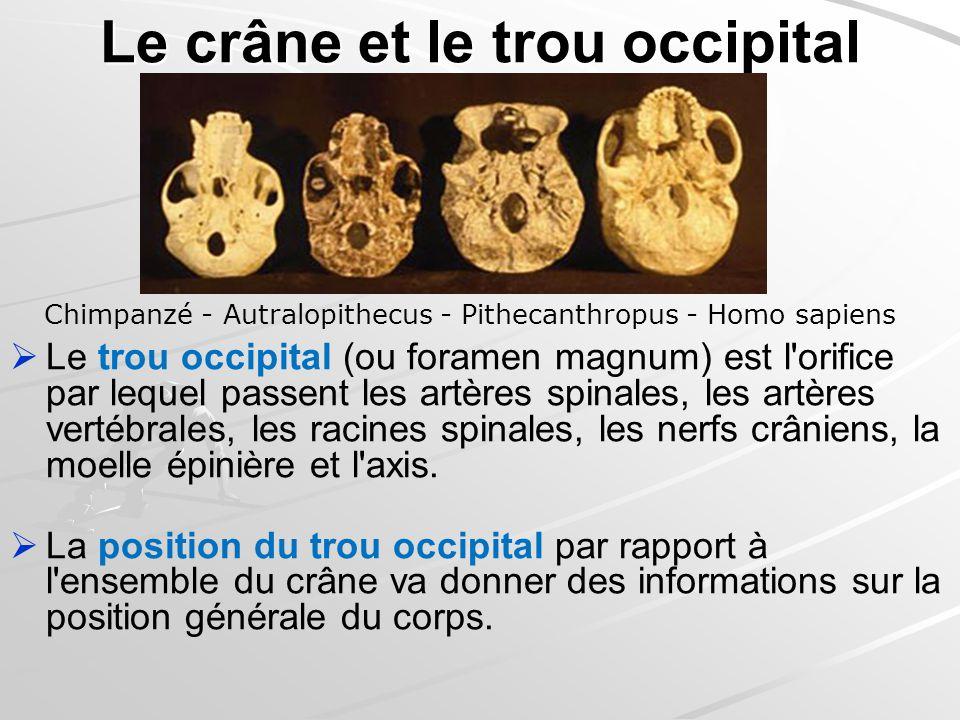Le crâne et le trou occipital Le trou occipital (ou foramen magnum) est l'orifice par lequel passent les artères spinales, les artères vertébrales, le