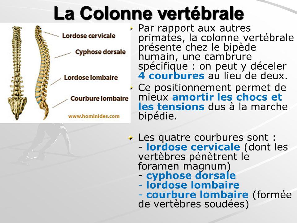 La Colonne vertébrale Par rapport aux autres primates, la colonne vertébrale présente chez le bipède humain, une cambrure spécifique : on peut y décel