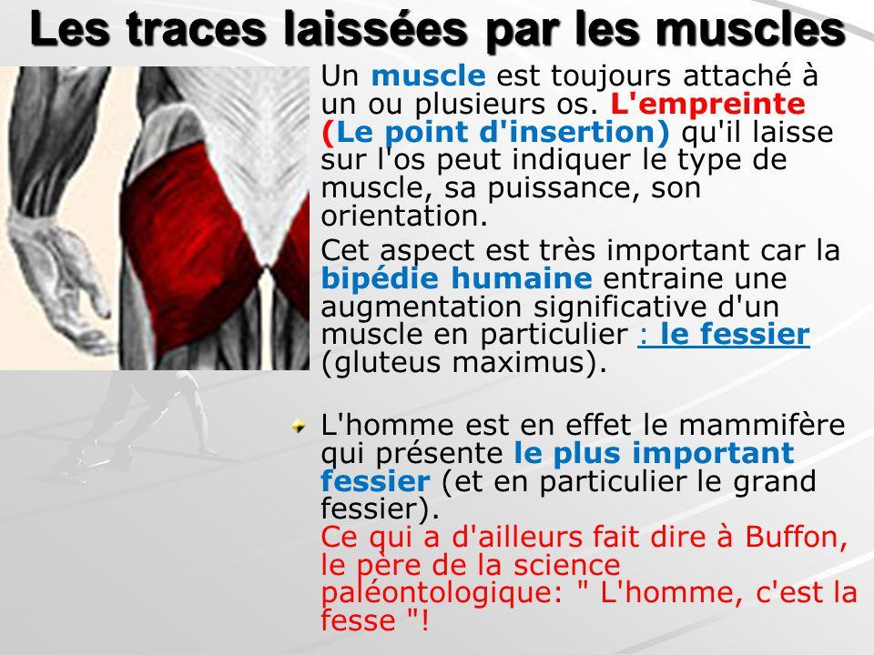 Les traces laissées par les muscles Un muscle est toujours attaché à un ou plusieurs os. L'empreinte (Le point d'insertion) qu'il laisse sur l'os peut