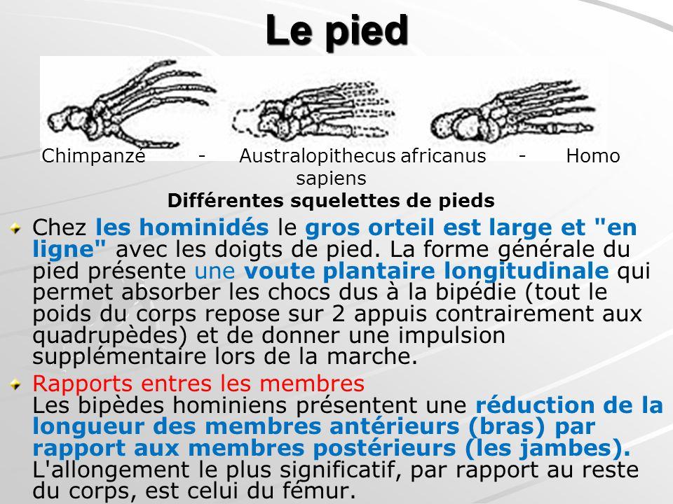 Le pied Chez les hominidés le gros orteil est large et