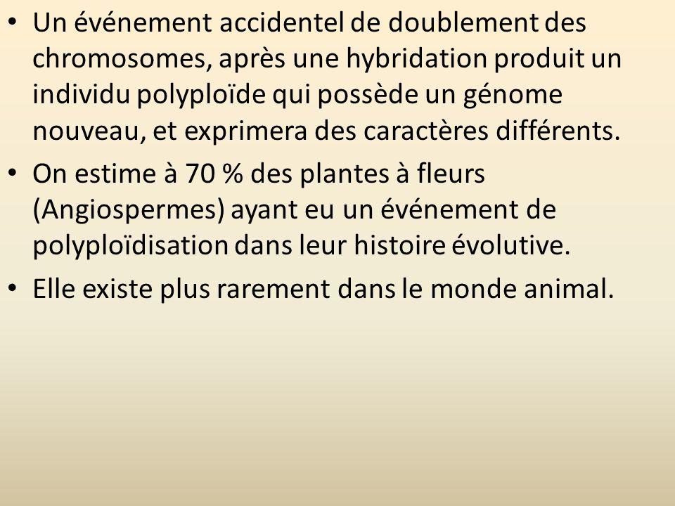 Un événement accidentel de doublement des chromosomes, après une hybridation produit un individu polyploïde qui possède un génome nouveau, et exprimera des caractères différents.