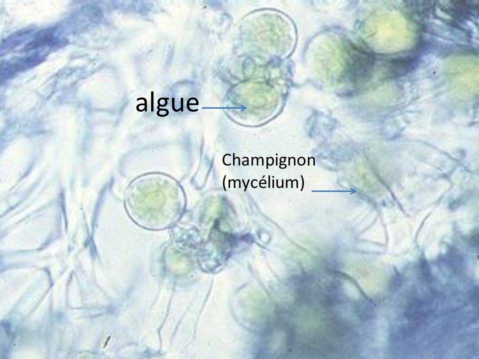 Définition dun lichen : Les lichens résultent d une association symbiotique entre un champignon, être hétérotophe et une algue, être autotrophe.