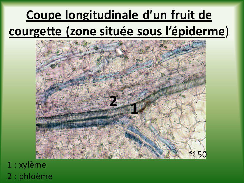 Coupe longitudinale dun fruit de courgette (zone située sous lépiderme) 2 1 1 : xylème 2 : phloème *150