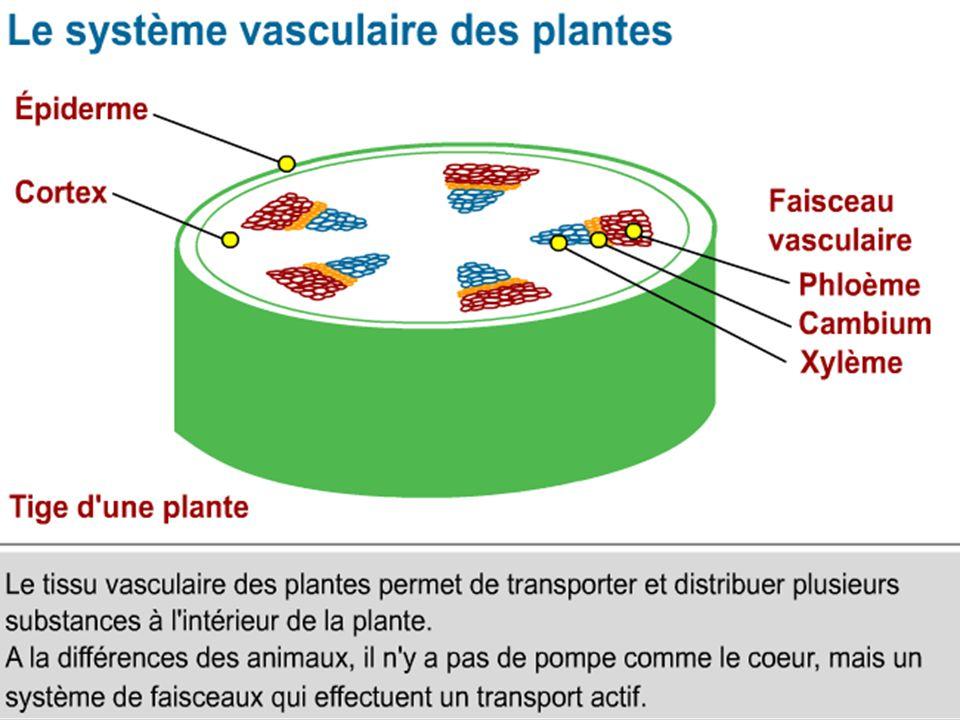 Légender le document fourni et répondre à la question 5p.100 correction En conclusion : répondre au problème posé sous forme dun schéma fonctionnel de la plante montrant les différents organes végétaux ainsi que les circulations de matière entre organes.