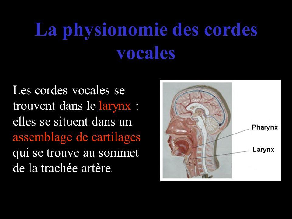 La physionomie des cordes vocales Les cordes vocales se trouvent dans le larynx : elles se situent dans un assemblage de cartilages qui se trouve au s