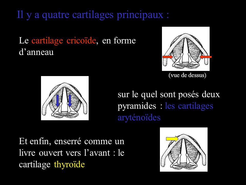 Il y a quatre cartilages principaux : Le cartilage cricoïde, en forme danneau sur le quel sont posés deux pyramides : les cartilages aryténoïdes Et en