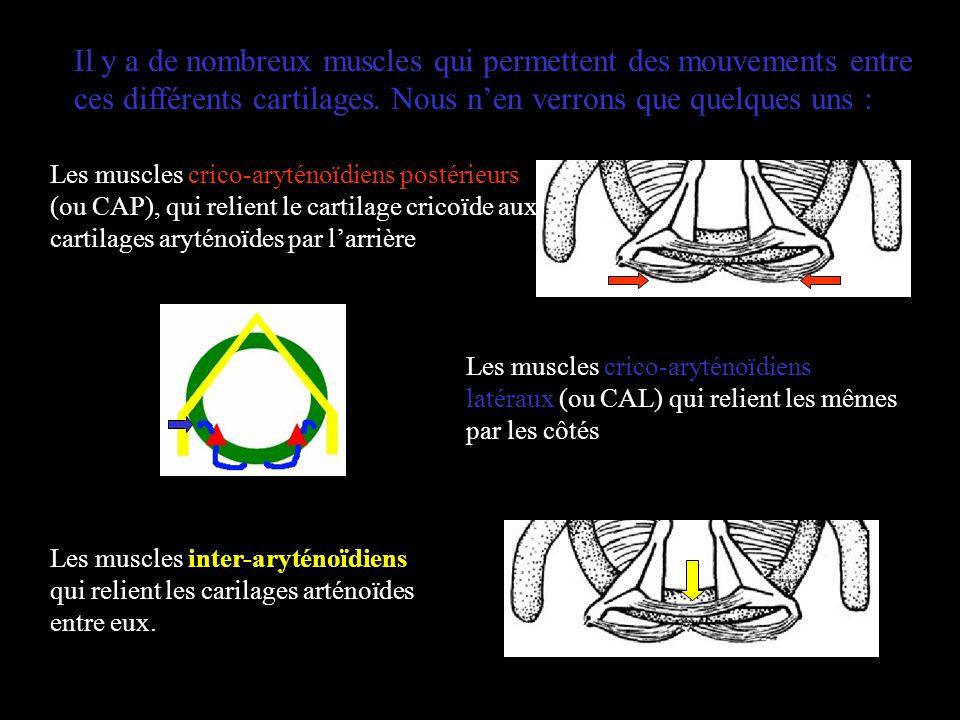 Il y a de nombreux muscles qui permettent des mouvements entre ces différents cartilages. Nous nen verrons que quelques uns : Les muscles crico-arytén