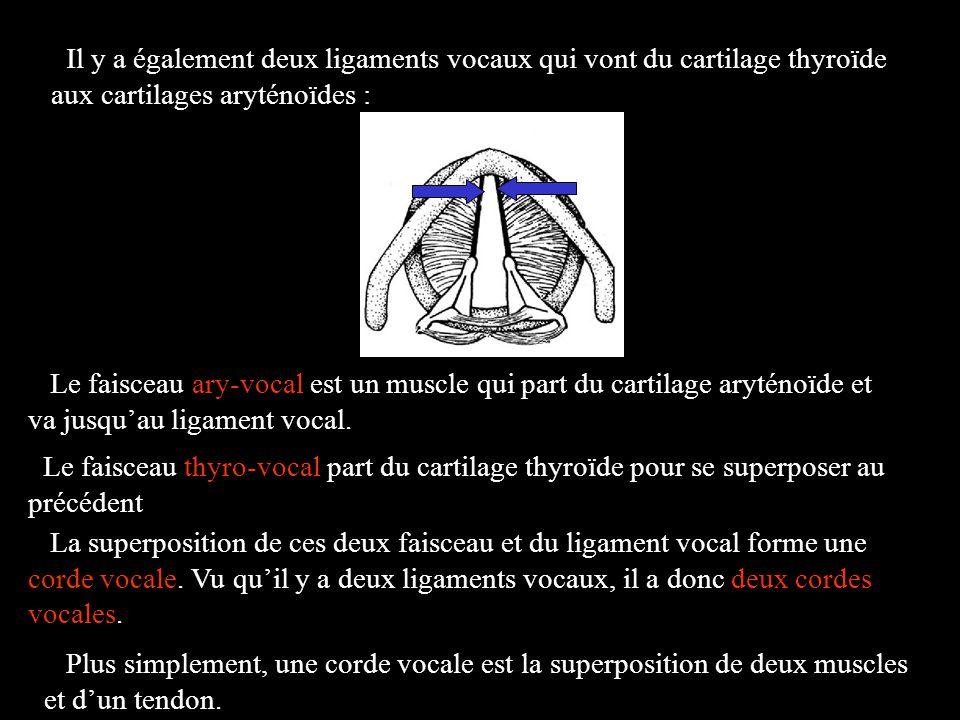 Le faisceau ary-vocal est un muscle qui part du cartilage aryténoïde et va jusquau ligament vocal. La superposition de ces deux faisceau et du ligamen
