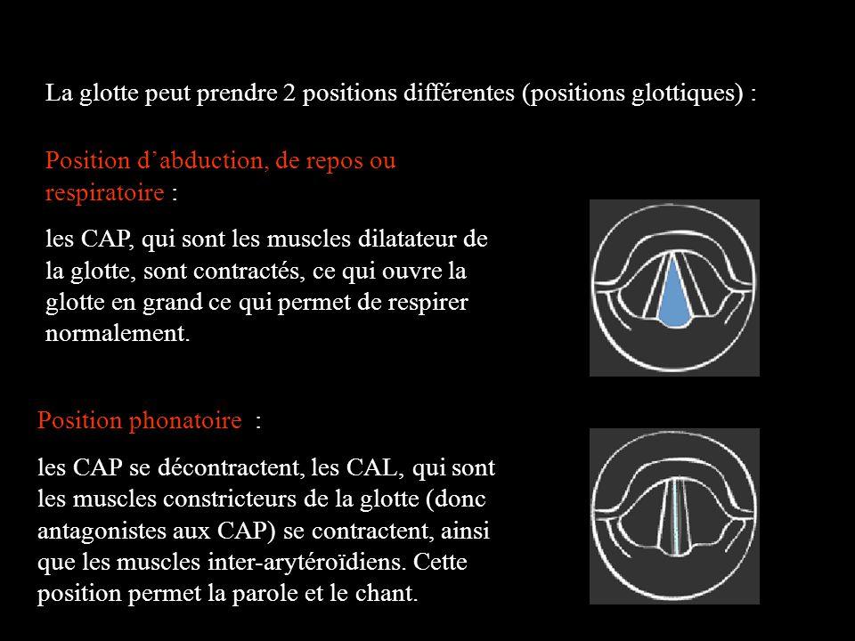 La glotte peut prendre 2 positions différentes (positions glottiques) : Position dabduction, de repos ou respiratoire : les CAP, qui sont les muscles
