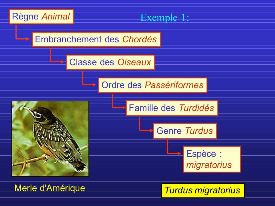 Règne Animal Embranchement des ChordésClasse des OiseauxOrdre des PassériformesFamille des TurdidésGenre TurdusEspèce : migratorius Merle d Amérique Turdus migratorius Exemple 1: