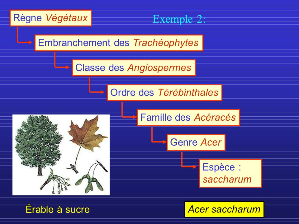 Règne Végétaux Embranchement des TrachéophytesClasse des AngiospermesOrdre des TérébinthalesFamille des AcéracésGenre AcerEspèce : saccharum Érable à sucre Acer saccharum Exemple 2: