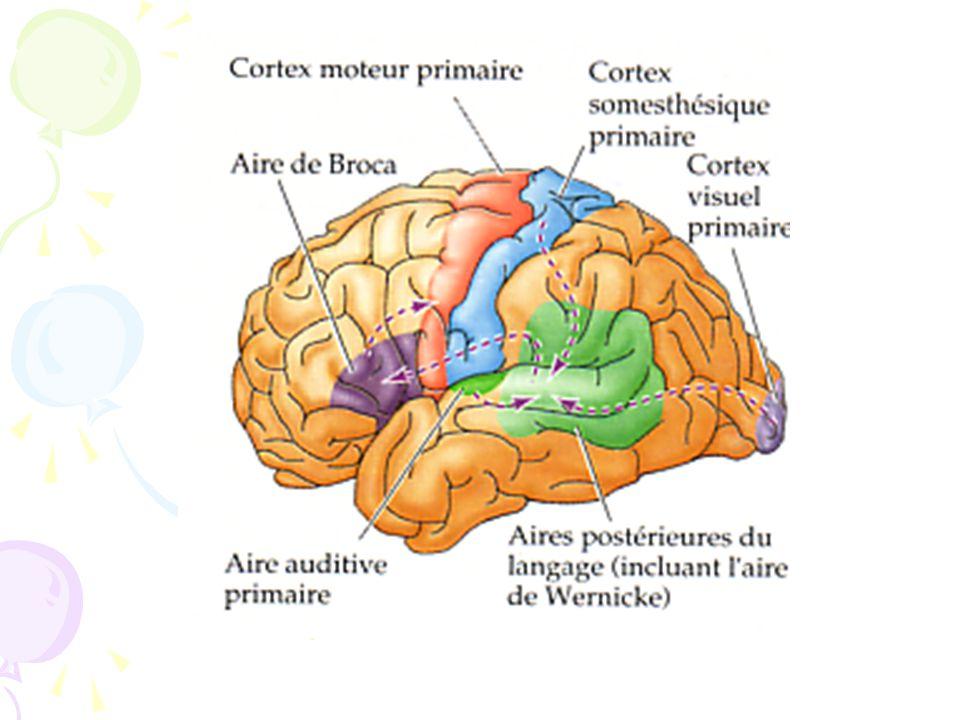Hécaen (1967) transitifs / intransitifs Luria (1973) rôle du lobe frontal dans la planification et la programmation du geste et des séquences daction Signoret et North (1979) analogie avec le langage: organisation gestuelle double (conjonction de gestèmes et de kinèmes).