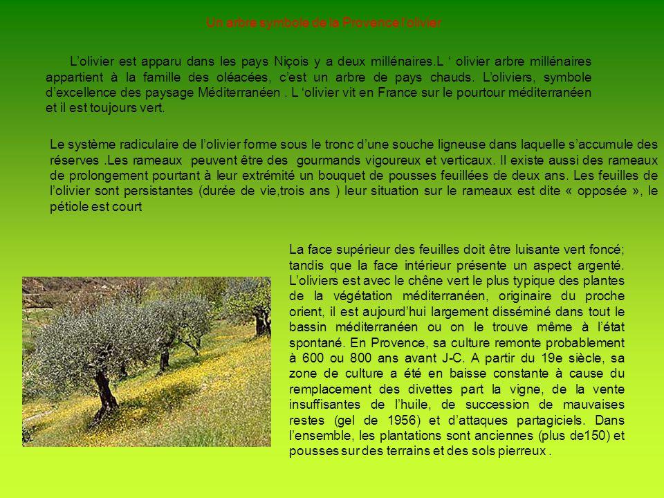 Un arbre symbole de la Provence lolivier Lolivier est apparu dans les pays Niçois y a deux millénaires.L olivier arbre millénaires appartient à la fam