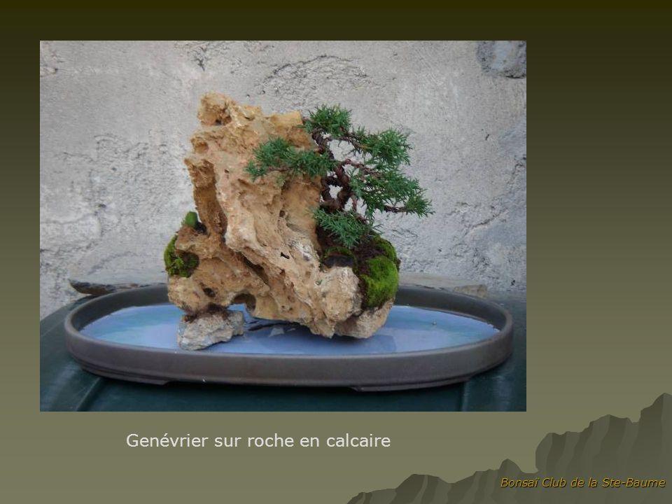 Bonsaï Club de la Ste-Baume Genévrier sur roche en calcaire