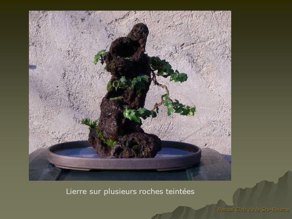 Bonsaï Club de la Ste-Baume Lierre sur plusieurs roches teintées