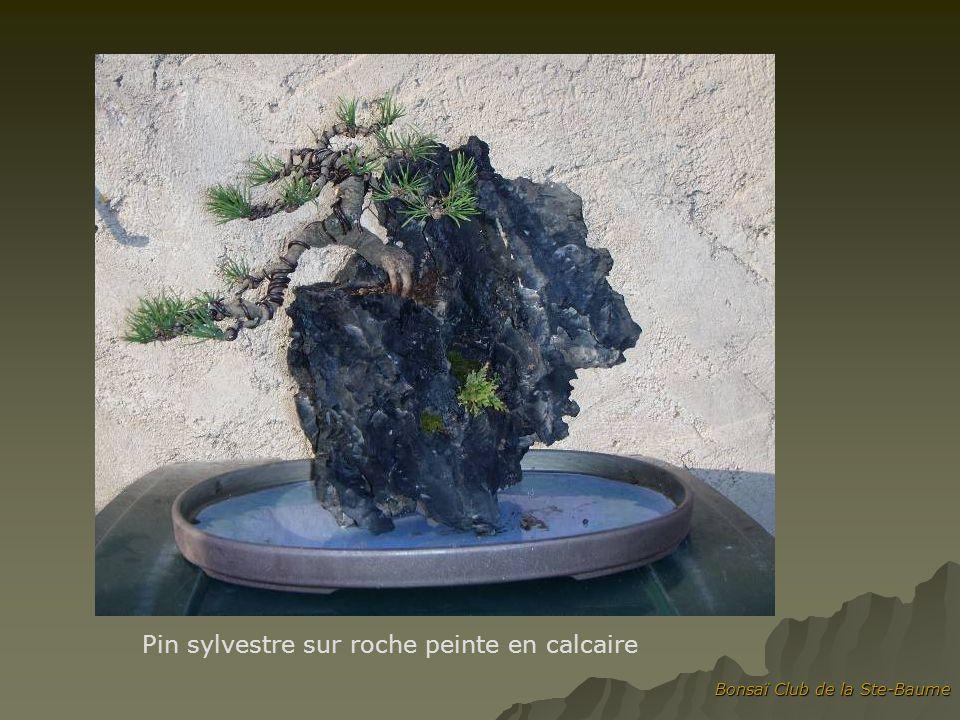 Bonsaï Club de la Ste-Baume Pin sylvestre sur roche peinte en calcaire