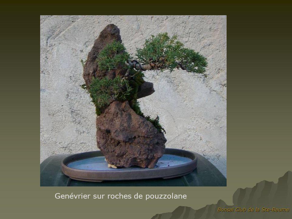 Bonsaï Club de la Ste-Baume Genévrier sur roches de pouzzolane