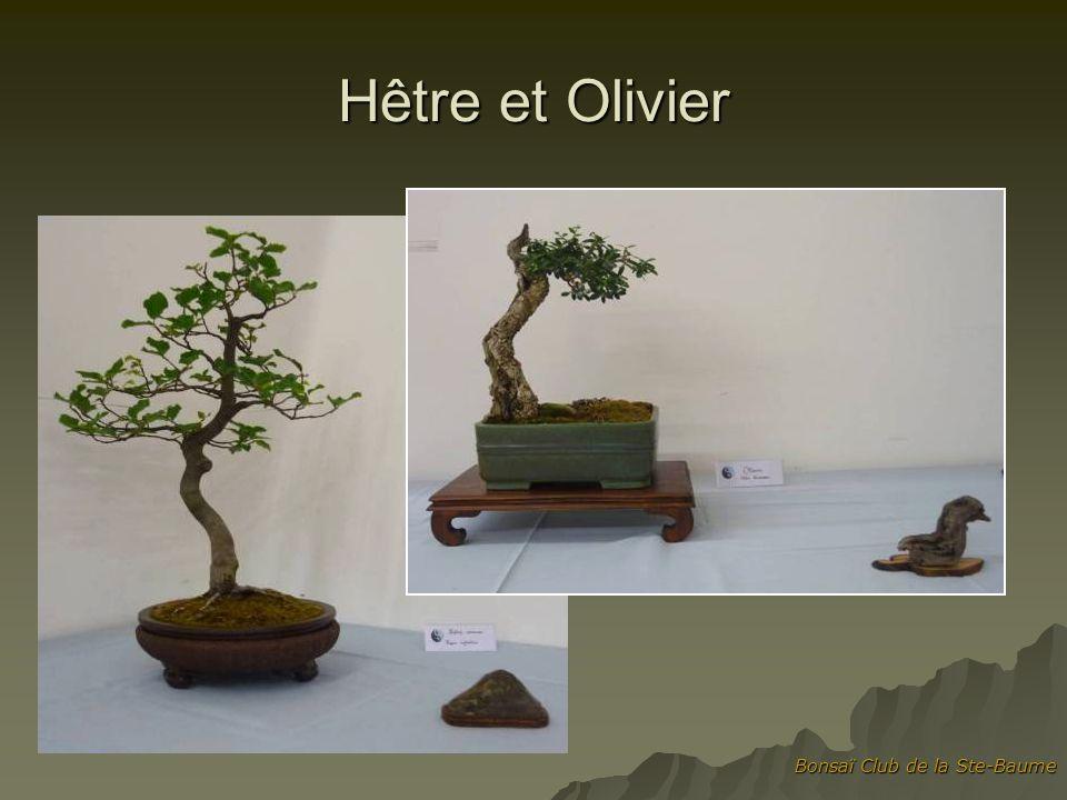 Hêtre et Olivier