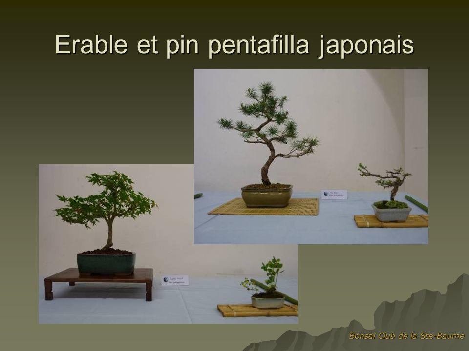 Erable et pin pentafilla japonais