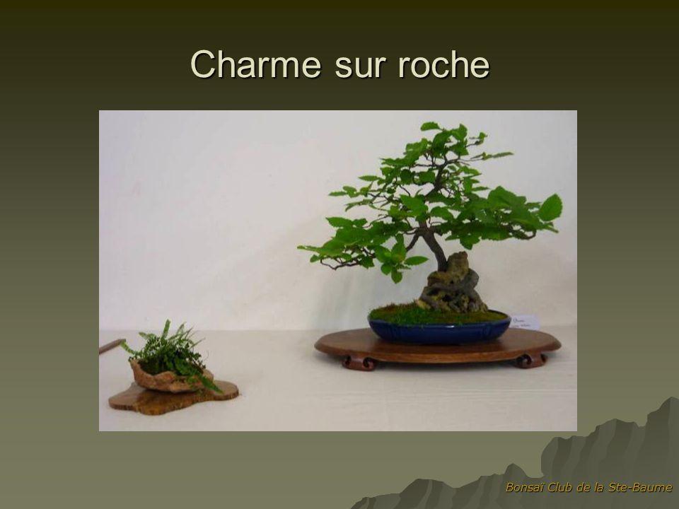Bonsaï Club de la Ste-Baume Charme sur roche