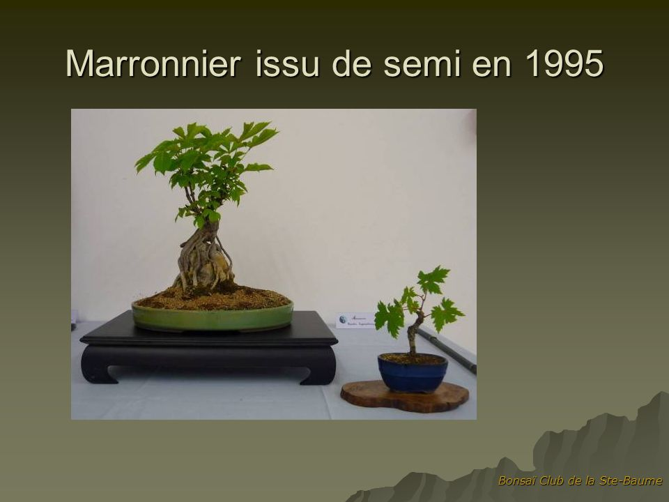 Bonsaï Club de la Ste-Baume Marronnier issu de semi en 1995