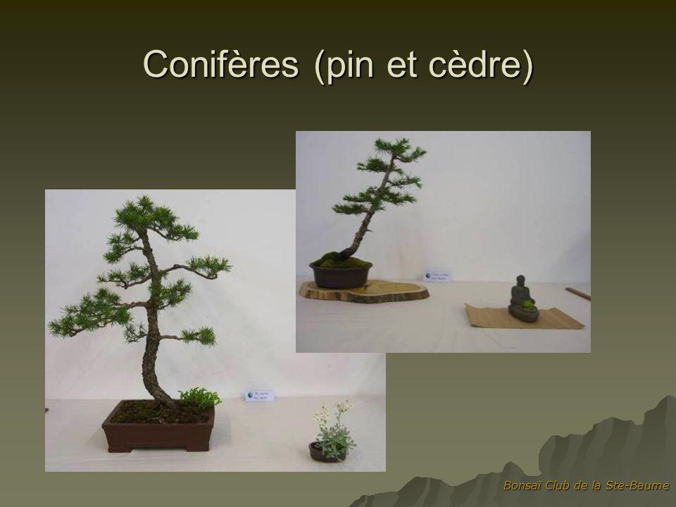 Bonsaï Club de la Ste-Baume Conifères (pin et cèdre)